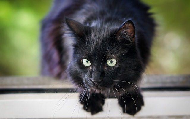 黒い猫は不吉じゃない!ジンクスを打ち破る5つの理由と真実